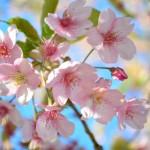 桜の名所は大田区もチェック!東京都大田区にある桜スポットとは?