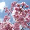 桜の名所は富山県でおススメな桜のスポット3つ