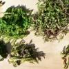 山菜の種類にはどのようなものがあるの?それぞれの特徴は?