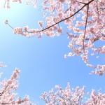 東京都北区の桜の名所は?仕事帰りに行けるところはある?