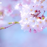桜の名所は江東区にはどんな所があるのか?おススメしたいスポット