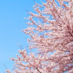 関市にある桜の名所とはどんな所?一度は行きたい桜スポットとは?